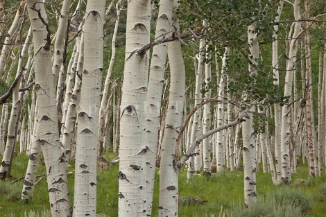 Pando, clonal colony of Quaking Aspen trees, Populus tremuloides, covering 107 acres and having 47,000 stems, said to be the heaviest known organism on earth, Fishlake National Forest, Utah, TomBean_Pix_1932